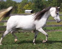 All World Acres Natural Arabians